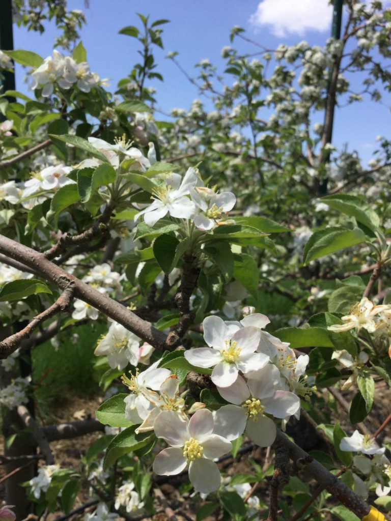 photo of apple blooms