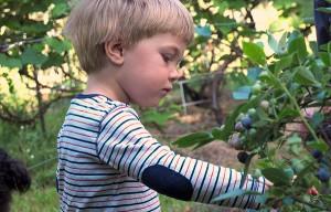 Little boy picking blueberries